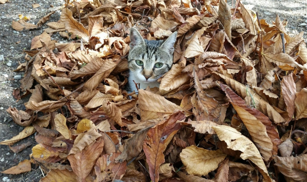Cat sitting in fall leaves