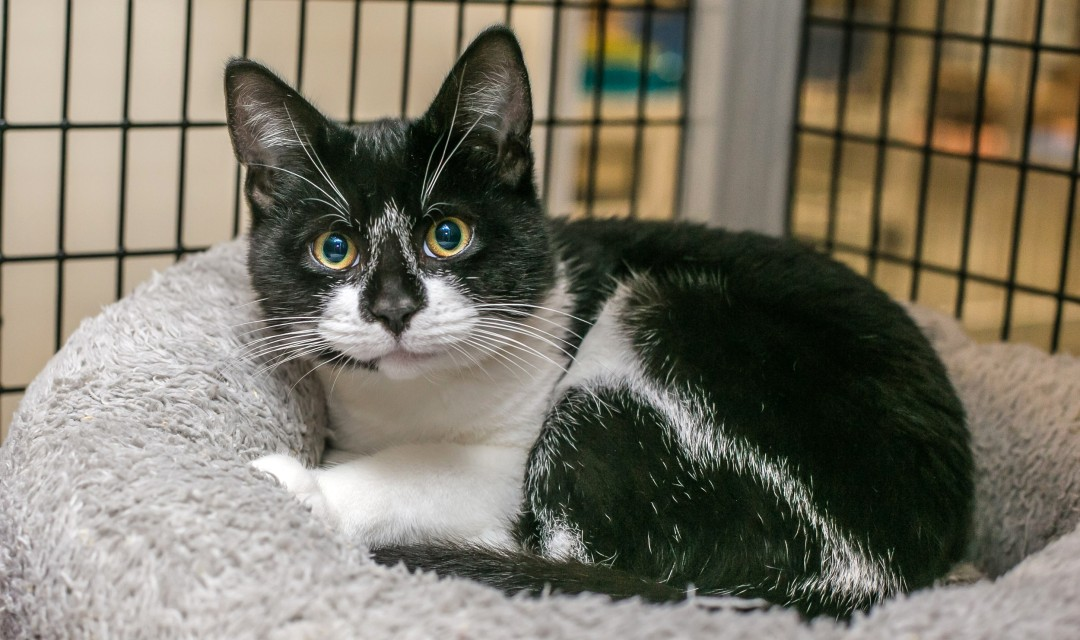 Jericho - cat with black and white markings looking at camera