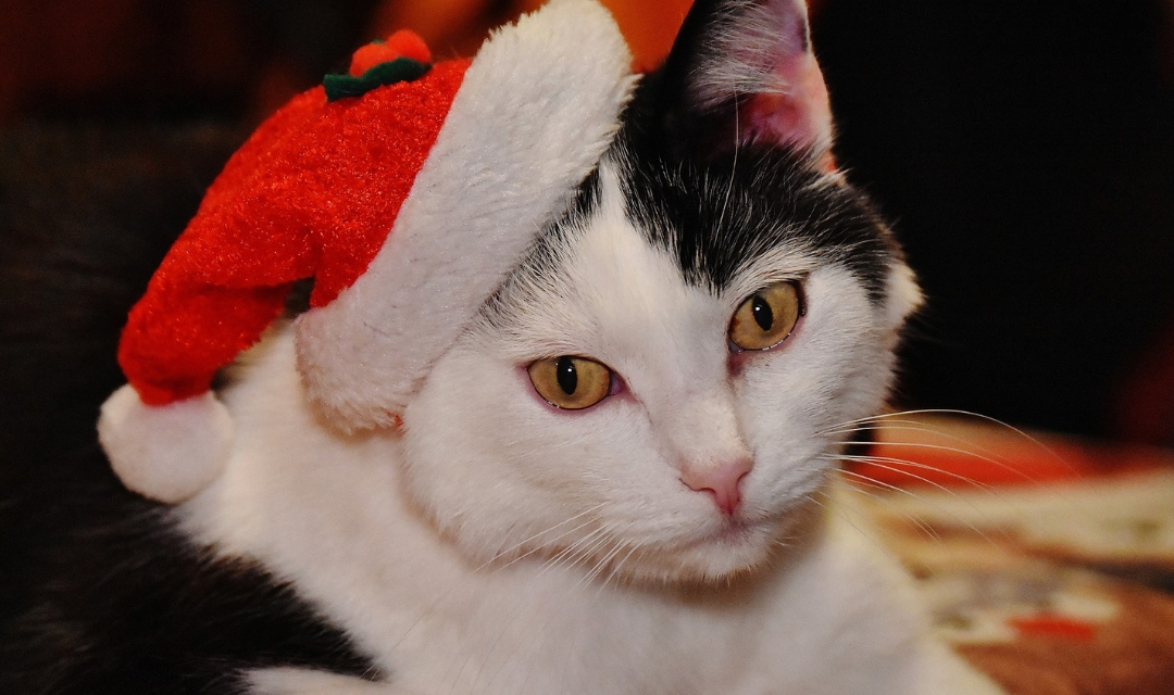 Cat in Santa Hat looking at the camera