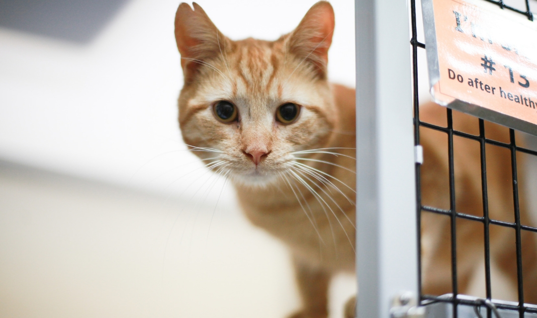 Image of young orange cat looking at camera from its cage