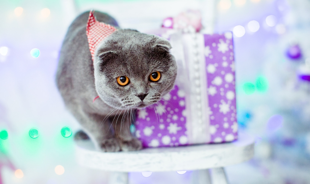 Grey cat in bandana in front of purple Christmas present