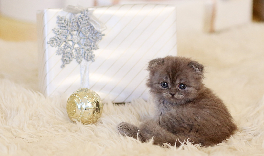 Picture of small kitten in front of Christmas present wrapped in white and ornament