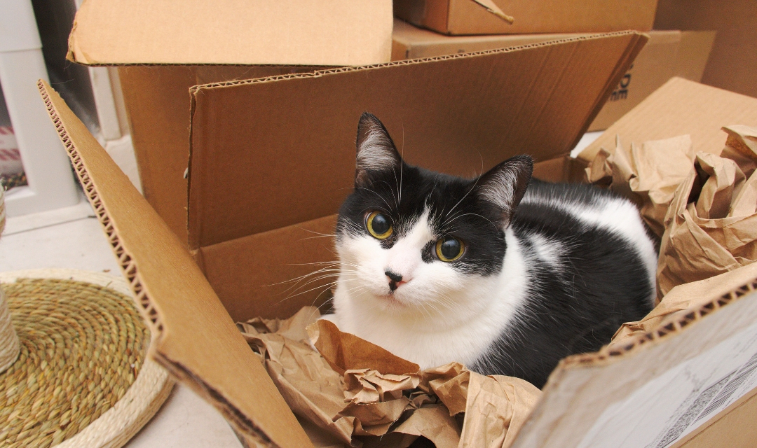Picture of black and white cat inside of shipping box