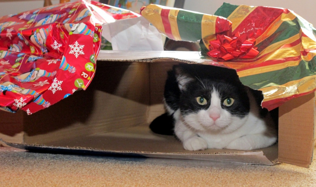 Black and white cat looking at camera from inside opened Christmas present box