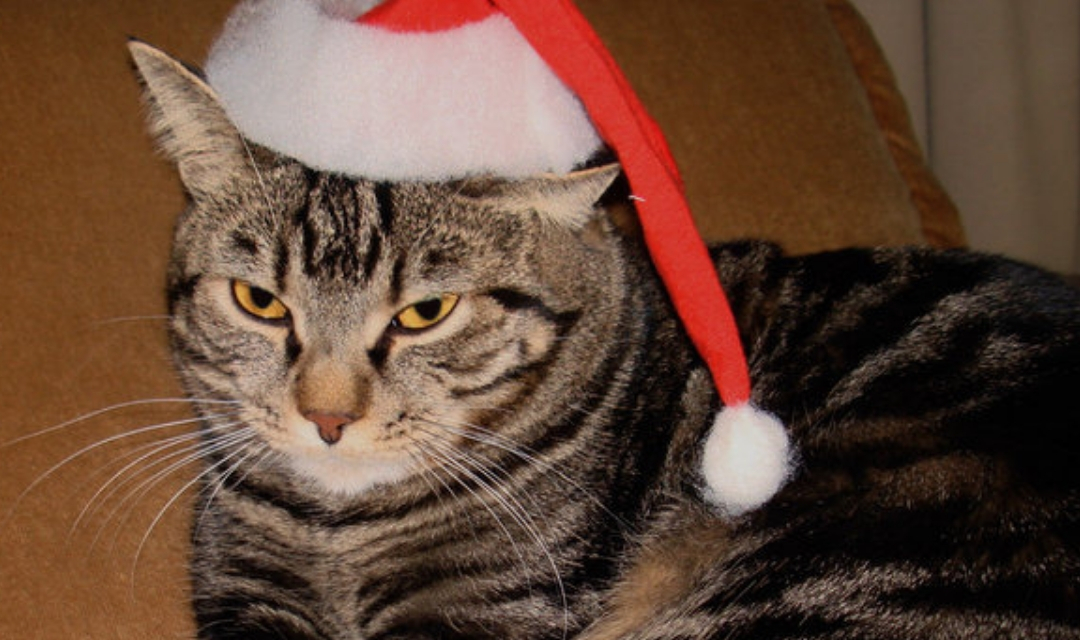 Unhappy cat with Santa hat on its head