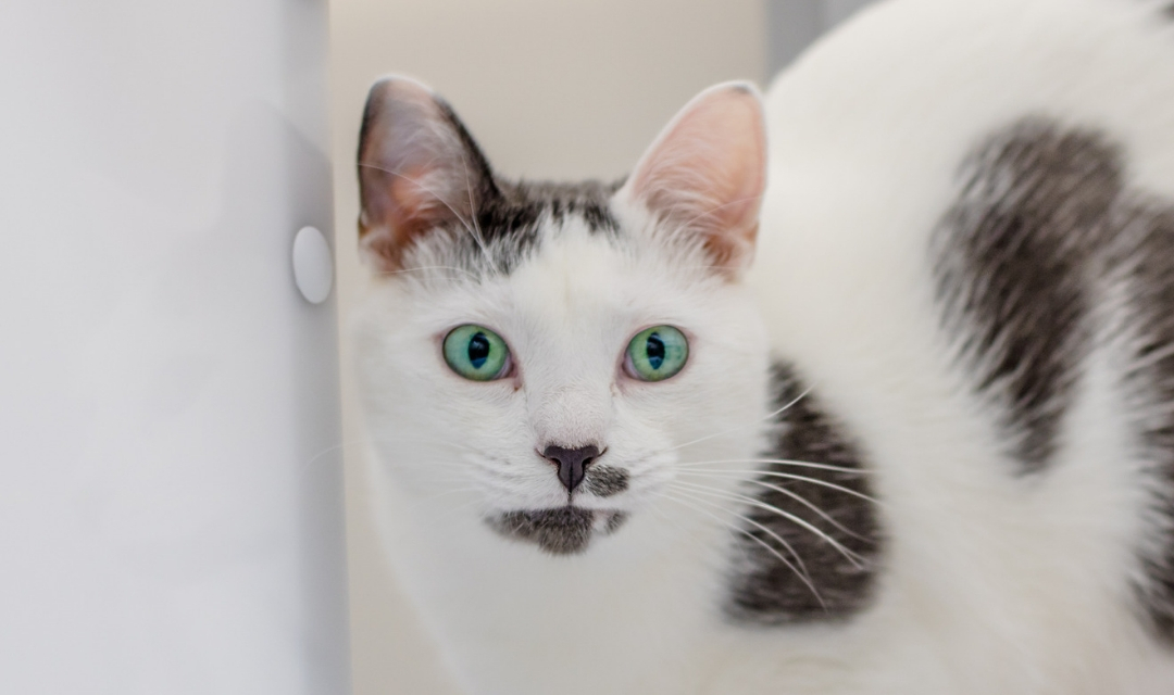 White Cat With Gray Spots, Teal Eyes, Looking at Camera