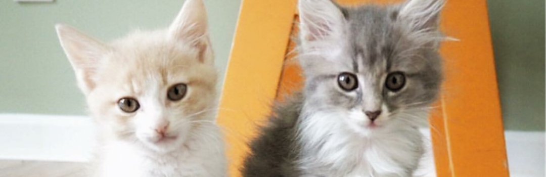 Image of Two Kittens - One Light Ginger and the Other Grey - Looking at Camera in Front of Green Wall