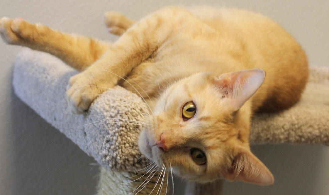 A Ginger Cat Lounging on a Cat Tree