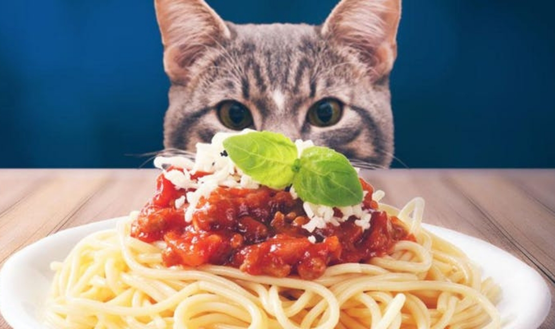 Image of Grey Cat Staring at Plate of Spaghetti