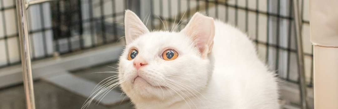 White Cat with Tipped Ear