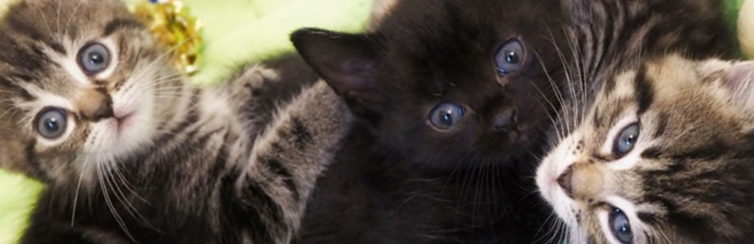 Two Tabby Kittens And One Black Kitten