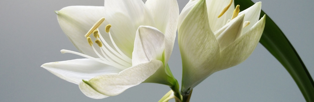 Close Up of Easter Lilly