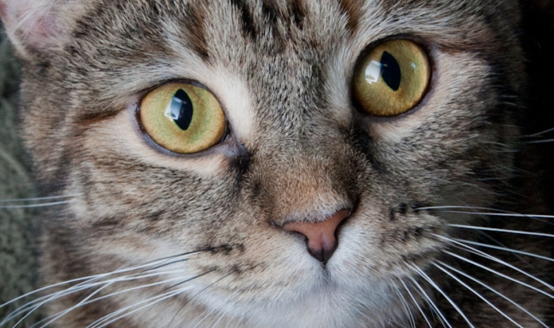 Close Up of Tabby Cat Face