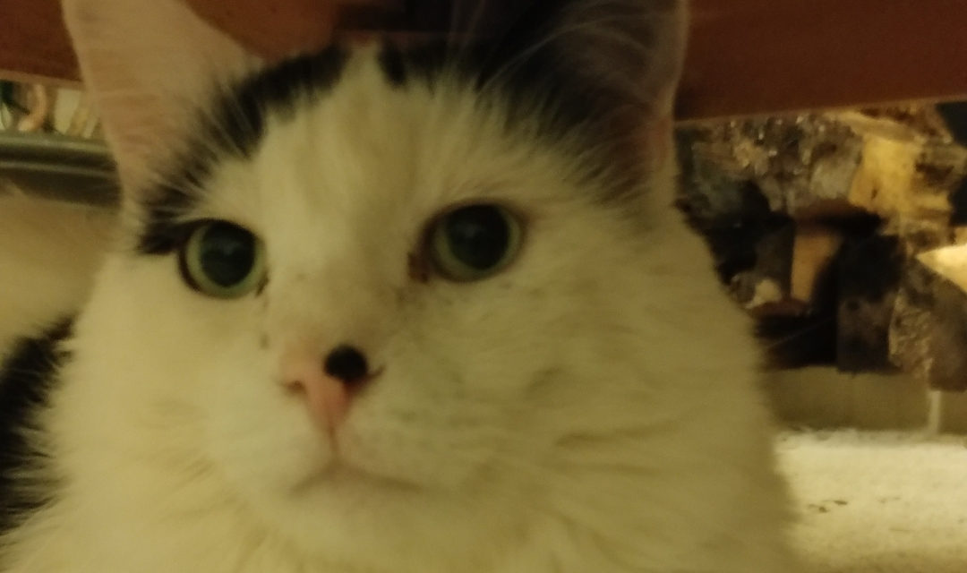 Cruisy - A Fluffy White Cat With a Brown Ear Under a Bed