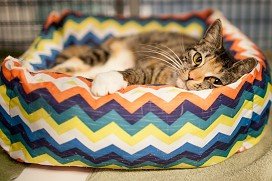 Salsa the tabby with socks waits in the rainbow bed