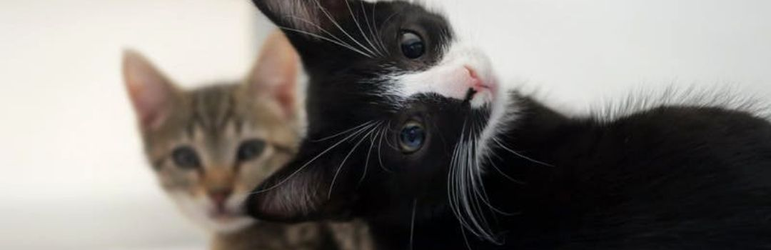 Black and White Kitten With Tabby Kitten