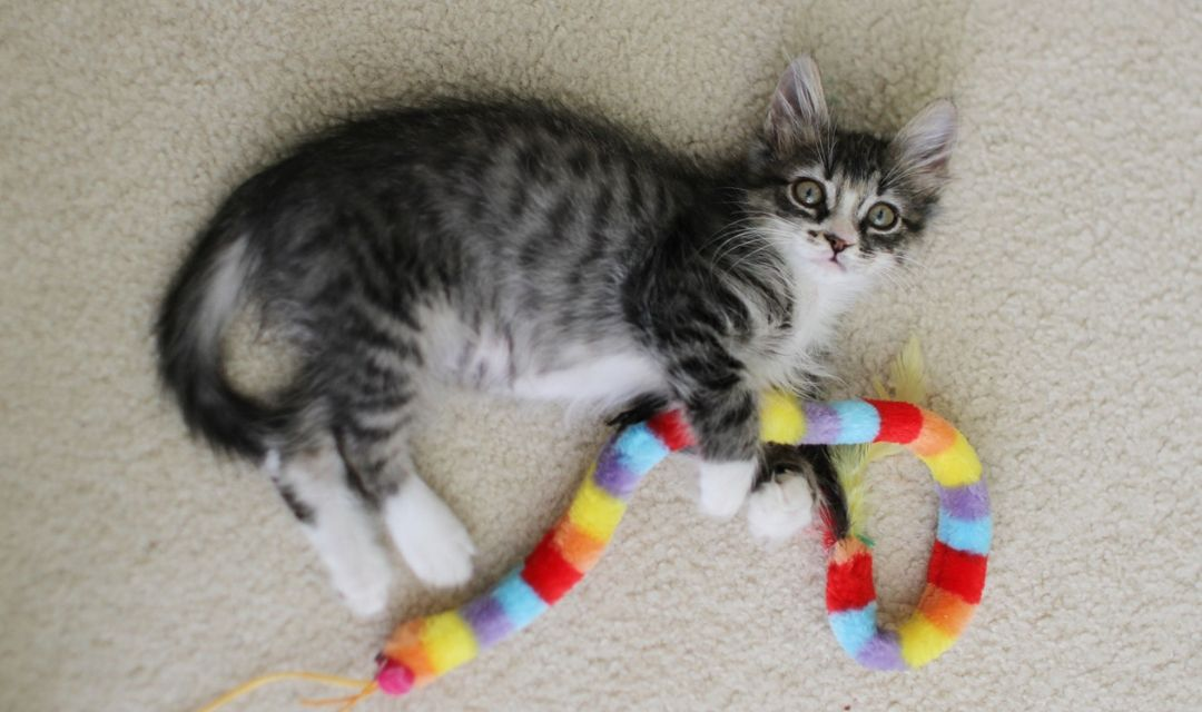 Tabby Kitten Playing With Multicolored Toy