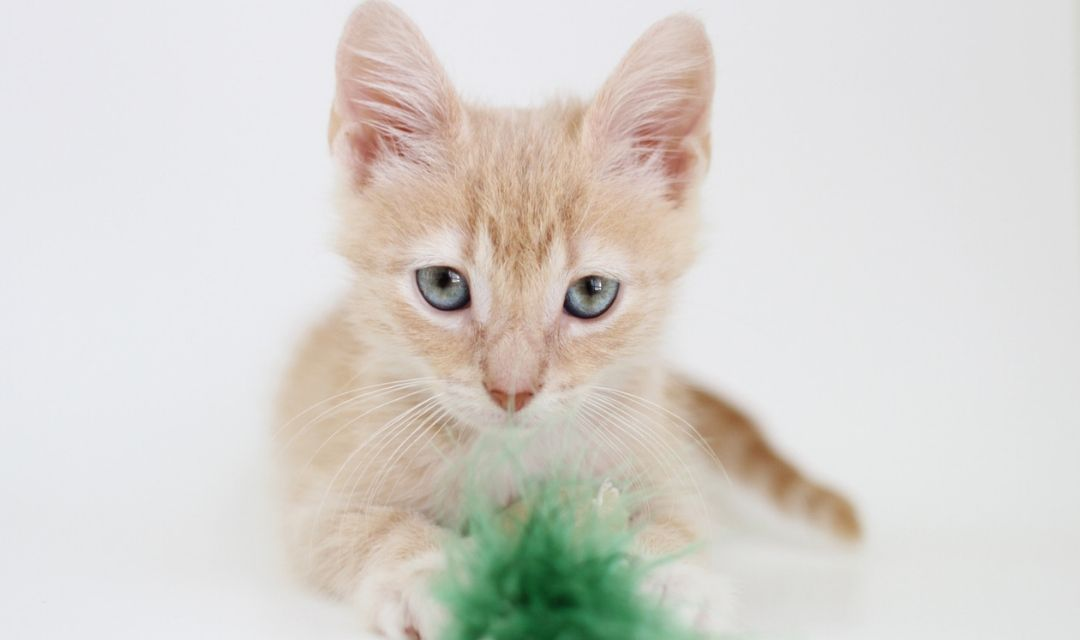 Young Light Orange Tabby With Green Toy