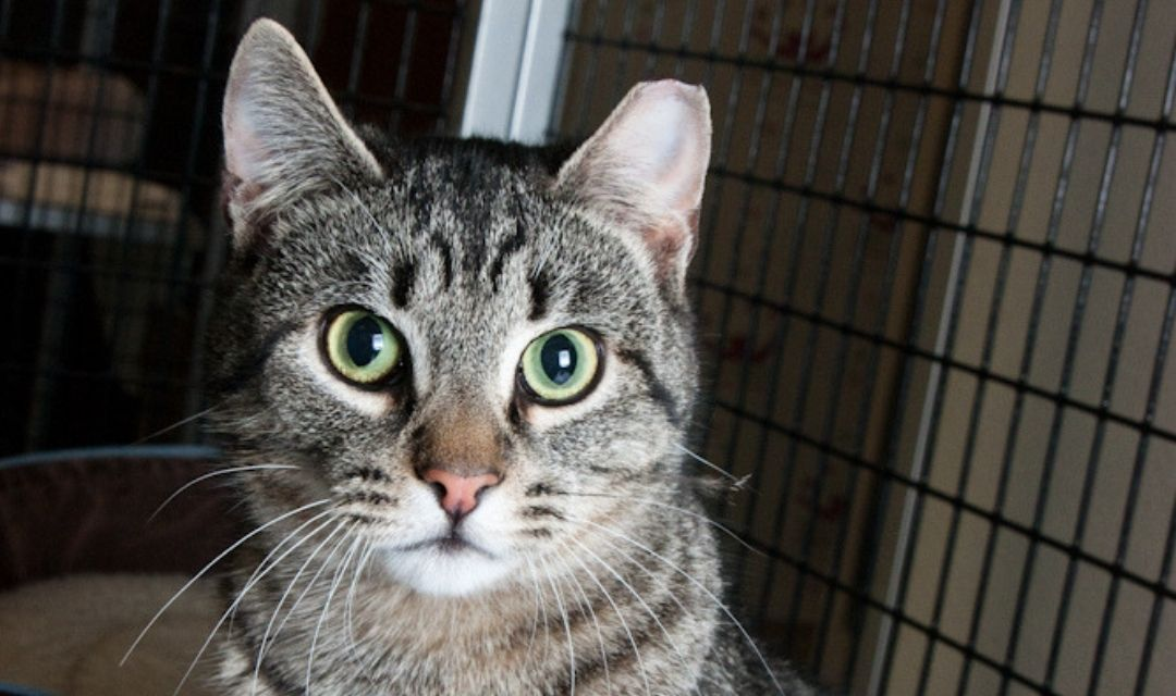 Tabby Cat With Green Eyes and a Clipped Ear