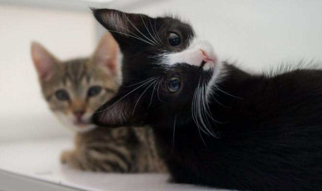 Black and White Kitten With Tabby Kitten
