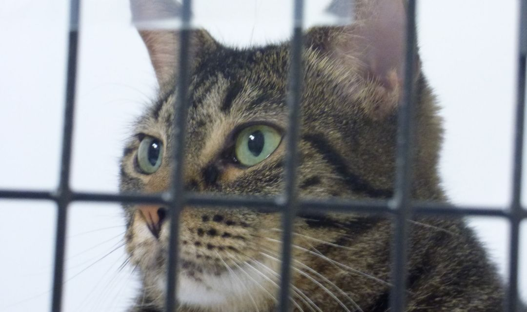 Tabby Cat In Cage