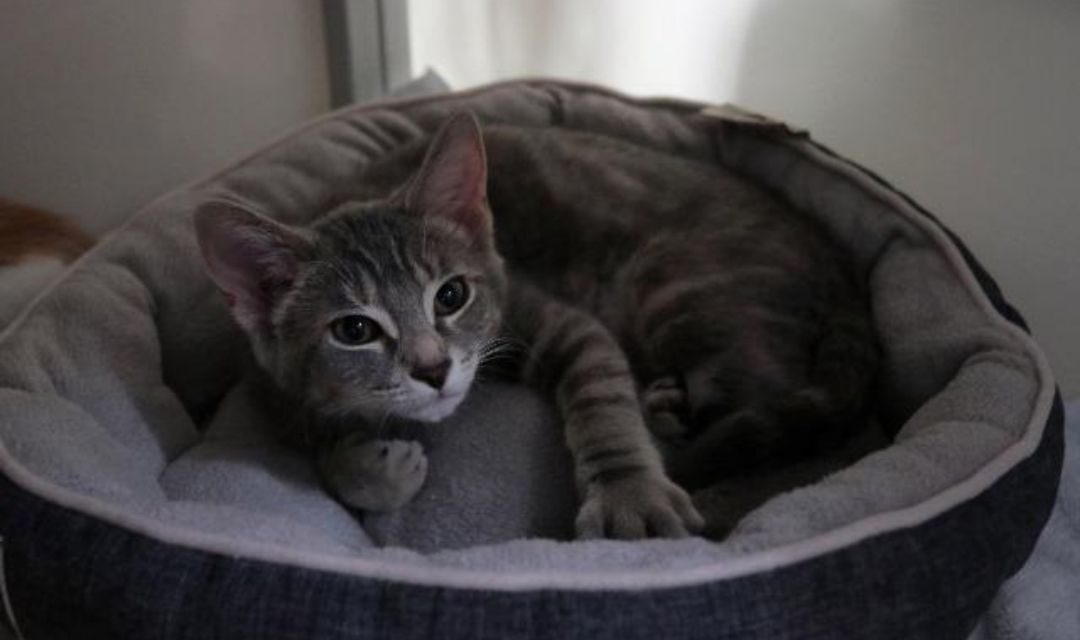 Gray Kitten Lounging on Bed