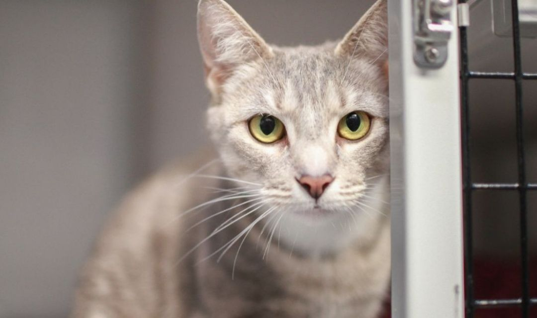 Image of Light Gray Tabby With Yellow Eyes