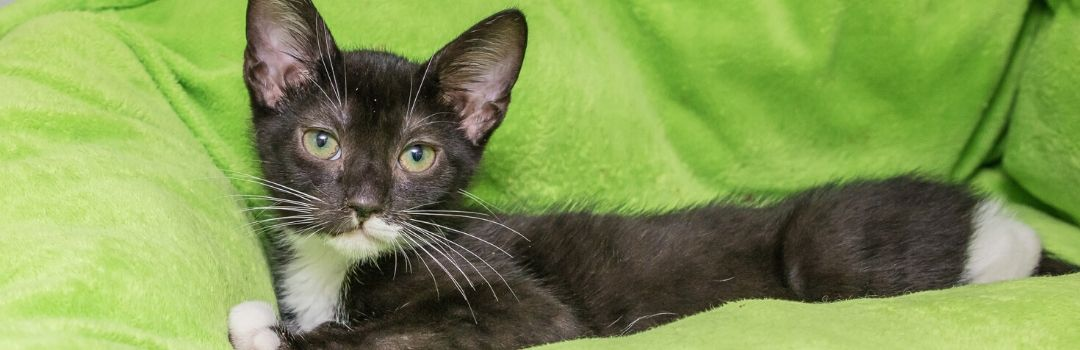 Black and White Kitten on Lime Green Bed