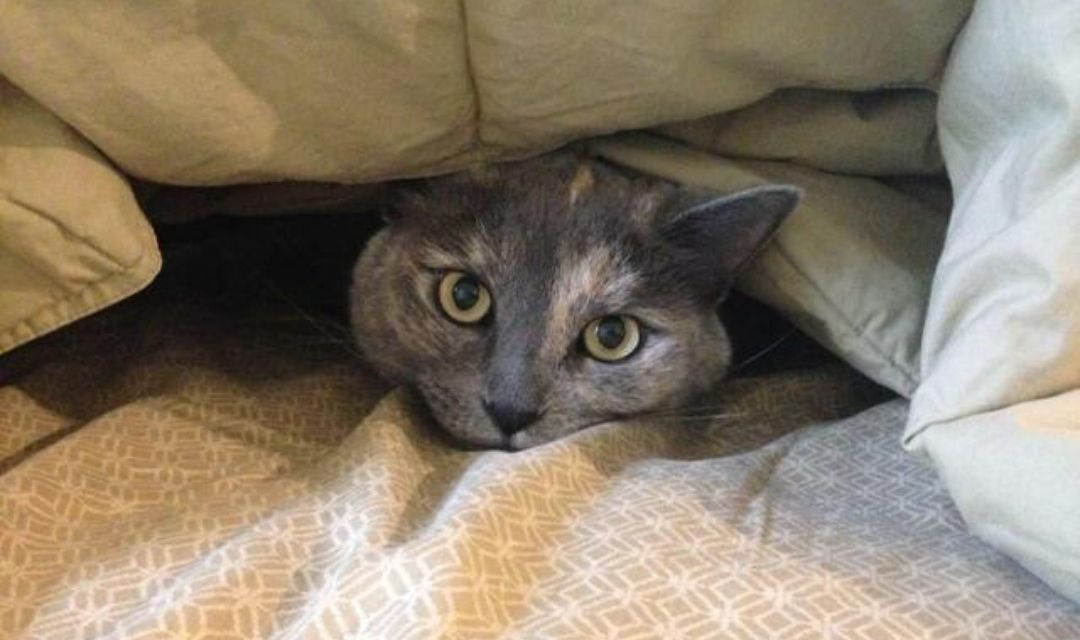 Grey Cat Poking Head Out From Under Blankets