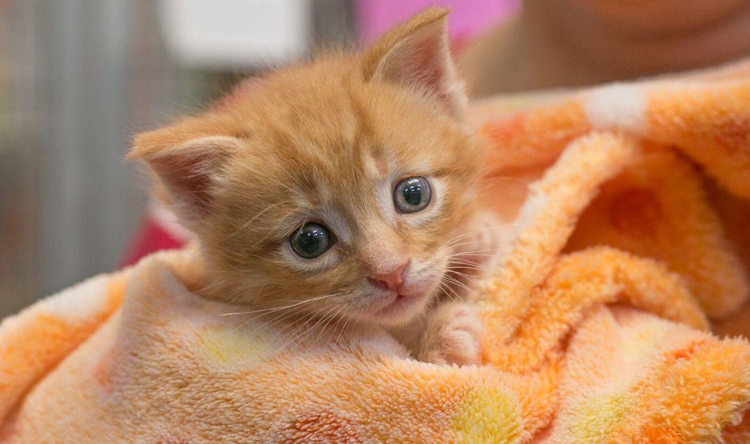 Orange Kitten in Orange Blanket