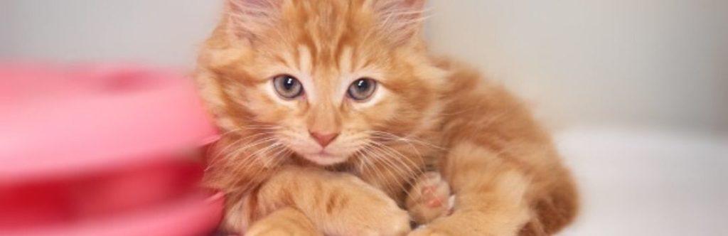 Orange Kitten Curled Up