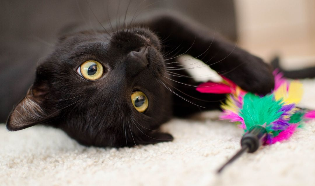 Black Cat with Cat Toy